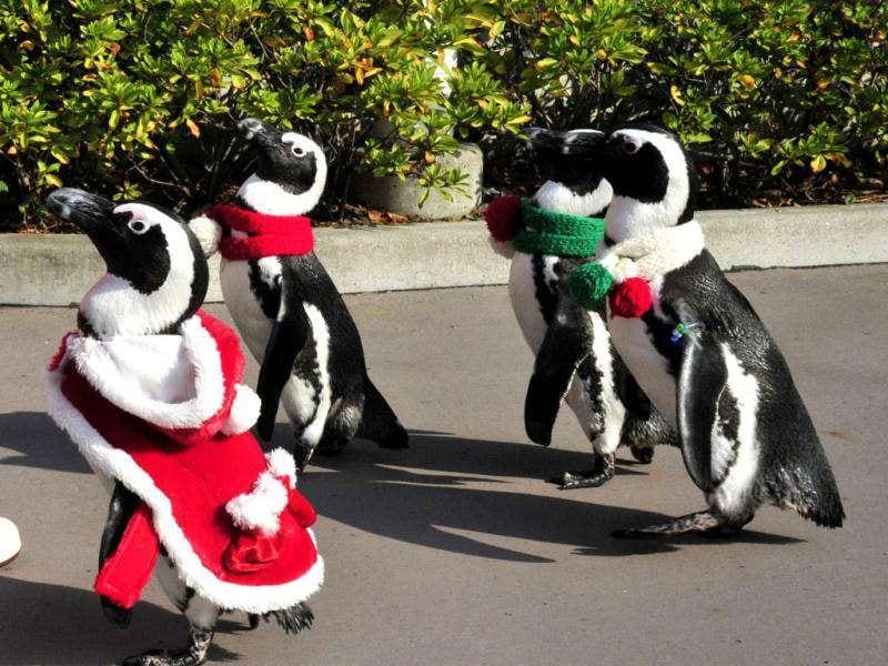 Cape Penguins wearing Christmas costumes take part in a Christmas event at the Hakkeijima Sea Paradise aquarium in Yokohama.