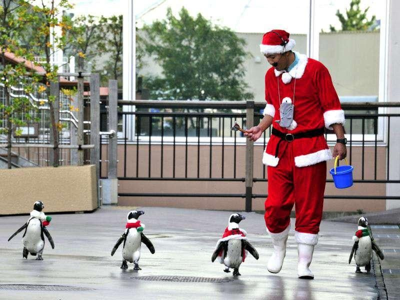 Cape Penguins wearing Christmas costumes take part in a Christmas event at the Hakkeijima Sea Paradise aquarium in Yokohama, suburban Tokyo.