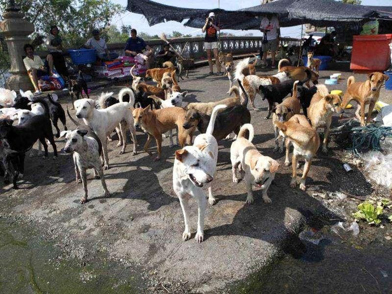 Three hundred dogs from Dog Island-- a shelter for abandoned dogs in Nakorn Pathom province, were moved to the elevated bridge, the only dry area surrounded by floodwater.