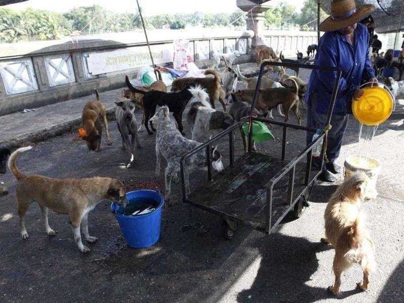 A woman prepares water for abandoned dogs as floodwater hit Nakhon Pathom province, on the outskirts of Bangkok.