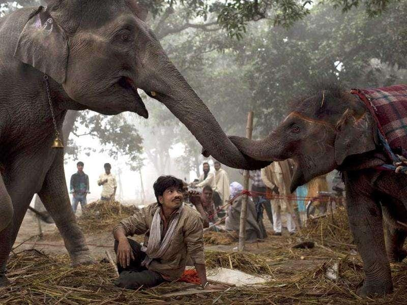 A mahout watches as a seven-year old female elephant Laxmi reaches with her trunk to touch her daughter 13-month-old baby elephant Rani at the Sonepur Fair, near Patna.