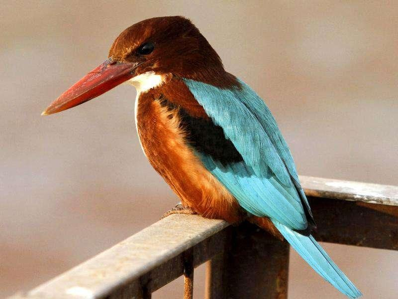 A Kingfisher perches on a fence on the bank of Dal Lake in Srinagar.