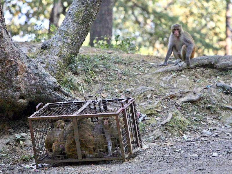 A monkey looks at the trapped monkeys caught by trappers in Shimla. The Himachal Pradesh state government is offering a reward of 500 Rupees for every monkey caught in an effort to control their numbers. (Reuters)