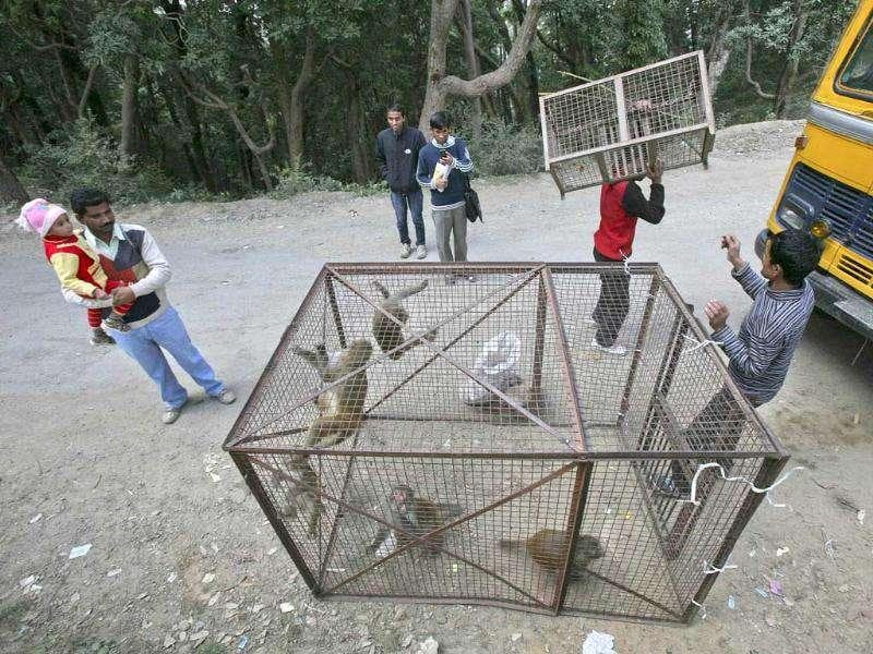 Monkey trappers carry a cage with trapped monkeys in Shimla. Monkeys are increasingly seen as a nuisance in places like the capital Shimla, where they harass people and rifle through garbage bins looking for food.(Reuters)