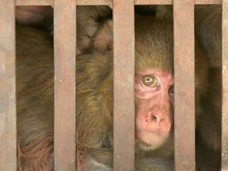 A monkey looks out from a cage before its sterilization at a monkey rescue centre run by forest and wildlife department Tutikandi in Shimla.