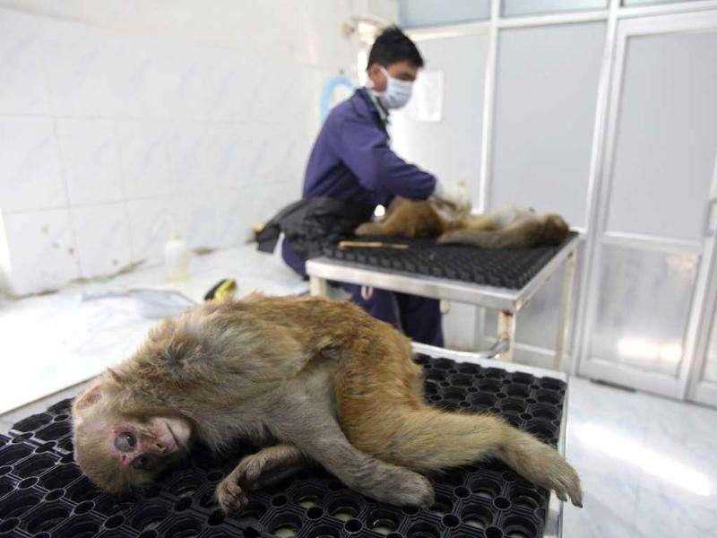 Monkeys lie before their sterilization process to start at a monkey rescue centre run by forest and wildlife department Tutikandi in Shimla.(Reuters)