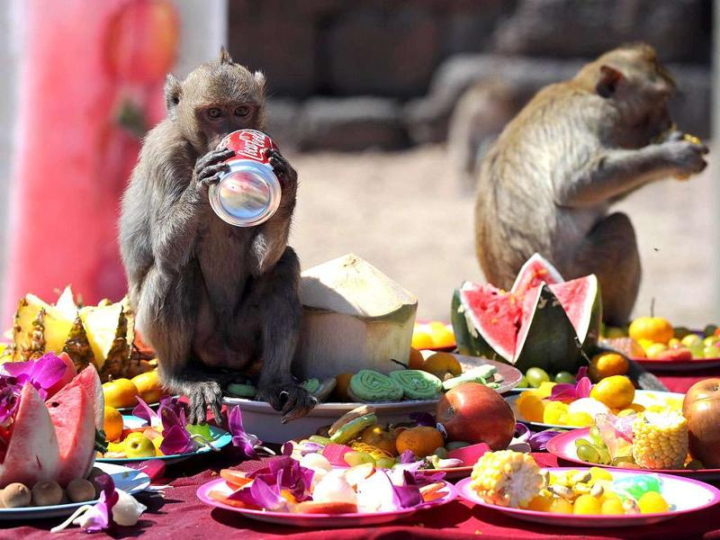 Monkeys eat fruit and drink soda in front of an ancient temple during the annual