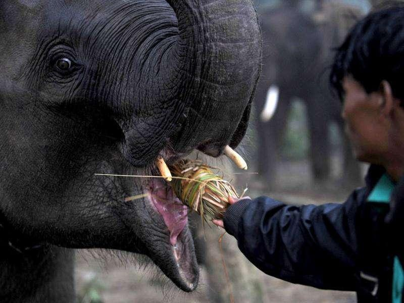 A Nepalese mahout feeds his pachyderm before an elephant polo match on the banks of the Rapati river at Chitwan, Kathmandu.