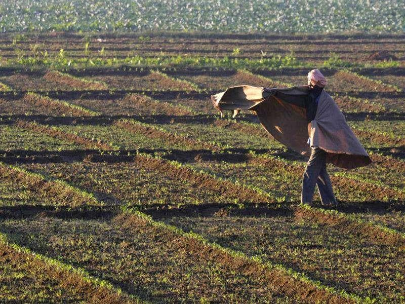 A man covers himself with a shawl as he walks through a spinach field on a morning at Mastgarh village in Punjab.