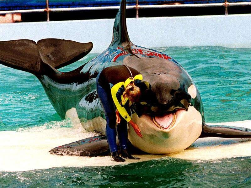 This March 9, 1995, file photo, shows trainer Marcia Hinton with Lolita during a performance at the Miami Seaquarium, in Miami. Celebrities, documentary artists, even the former Washington state governor over the years have sought to free Lolita, who was captured from Puget Sound waters in 1970 and has been performing stunts at the Seaquarium for four decades. Activists are now suing the federal government in a US district court in Seattle, saying the government erred by not including captive animals when they listed the whales as endangered in 2005. (AP Photo)