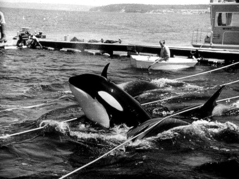 In this August 8, 1970, photo provided by Wallie Funk, members of a pod of orca whales are held captive in Penn Cove, in the waters off Whidbey Island, Wash. Seven of the dozens of whales captured, including Lolita, who has been performing stunts for Miami Seaquarium for the past four decades, were sold to marine parks around the world. Five whales drowned during the capture. Celebrities, documentary artists, even the former Washington state governor over the years have sought to free Lolita. Activists are now turning to the courts: three residents, the Animal Legal Defense Fund and PETA are suing the federal government in US district court in Seattle, saying the federal government erred by not including captive animals when they listed the whales as endangered in 2005. (AP Photo)