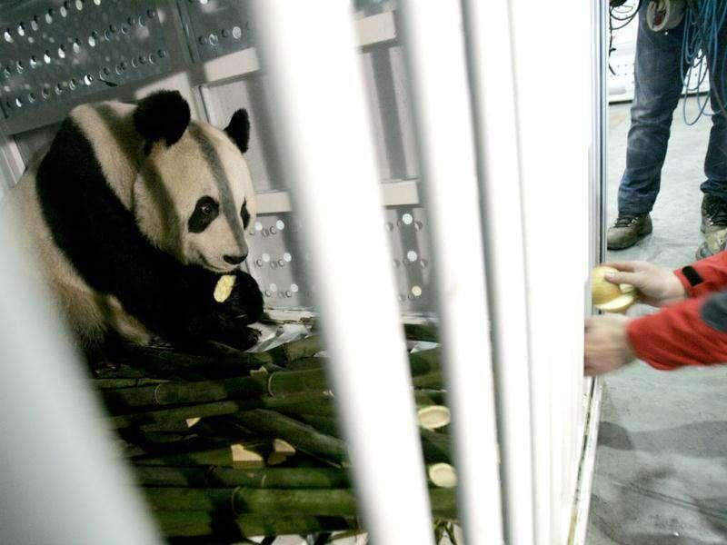 A staff feeds giant panda Yang Guang with apples before being loaded into the plane at Chengdu Shuangliu International Airport, Sichuan, China. The two giant pandas, Tian Tian and Yang Guang, are loaned to a zoo in Britain for ten years. Reuters