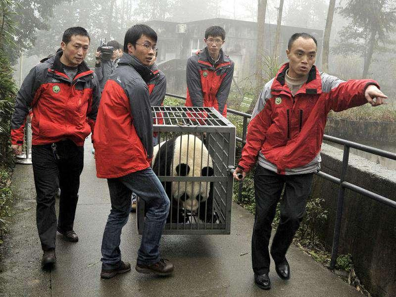 Staff transport panda Tian Tian in a cage at the Bifengxia panda breeding centre in Ya'an, Sichuan province of China. The two giant pandas, Tian Tian and Yang Guang, are loaned to a zoo in Britain for ten years. Reuters
