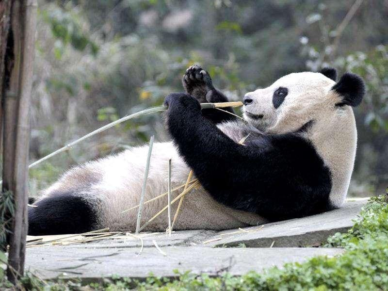 Giant panda Tian Tian holds a bamboo shoot at Bifengxia panda breeding centre in Ya'an, Sichuan province odf China. The two giant pandas, Tian Tian and Yang Guang, are loaned to a zoo in Britain for ten years. Reuters/China Daily