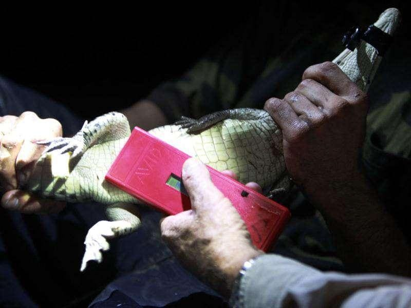 Wildlife biologists use an avid microchip scanner to scan the stomach of a small crocodile captured in a cooling canal adjacent to the Turkey Point Nuclear Power Plant, during a nighttime survey of the crocodiles in the area in Homestead, Florida. AP Photo/Wilfredo Lee