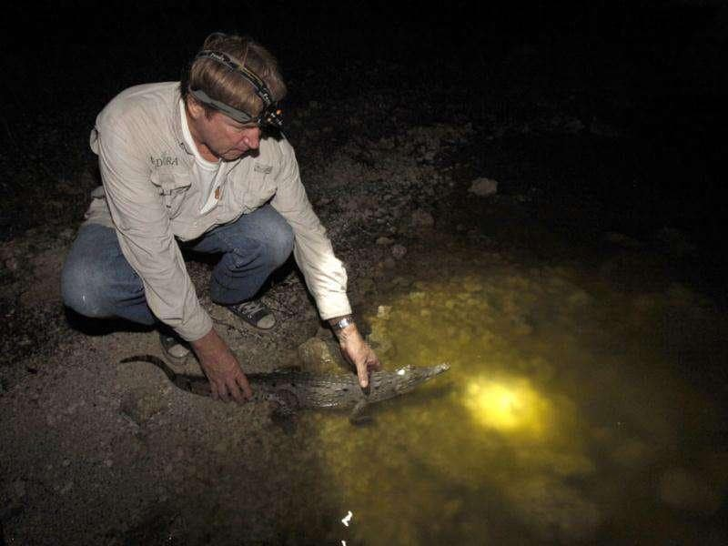 Wildlife biologist Joseph Wasilewski prepares to release a small crocodile back into one of the cooling canals adjacent to the Turkey Point Nuclear Power Plant, during a nighttime survey of the corocodiles in the area in Homestead. AP Photo/Wilfredo Lee