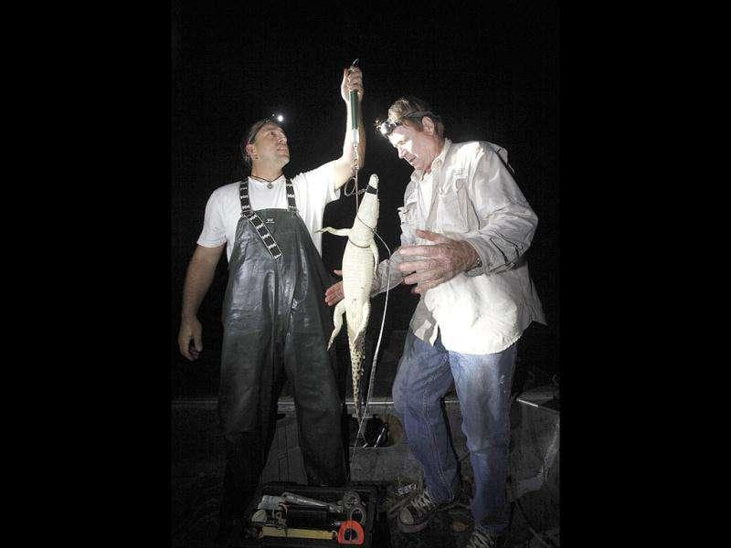Wildlife biologists Michael Cherkiss (L) with the US Geological Survey and Joseph Wasilewski weigh a small crocodile that they captured in a cooling canal adjacent to the Turkey Point Nuclear Power Plant, during a nighttime survey of the crocodiles in the area in Homestead. The crocodile monitoring program began in 1978, a year after employees stumbled upon a crocodile nest in the plant's cooling canal system. AP Photo/Wilfredo Lee