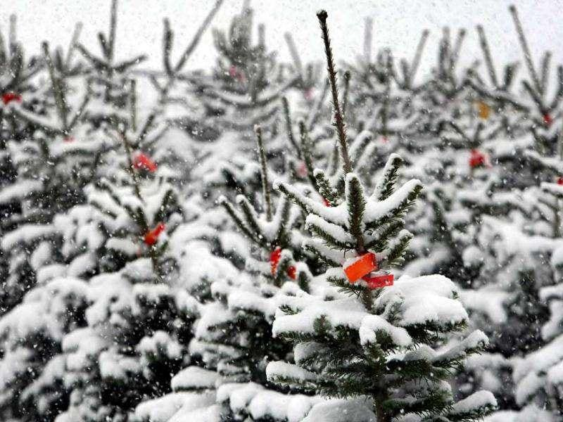 Christmas trees are covered with snow near Maierhoefen, southern Germany. Heavy snowfall characterizes the weather in the western Allgaeu region. AFP photo
