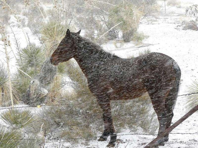 A horse stands in the intense wind and snow in Las Cruces, New Mexico. Snowfall started to blanket the City of the Crosses at about 11am and steadily continued throughout the day. AP photo