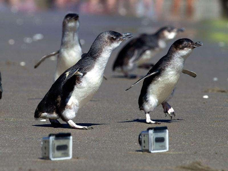 Little blue penguins runs towards the sea after being released by wild life workers and school children at Mount Maunganui beach in Tauranga. The Penguins were among those affected by New Zealand's biggest sea pollution disaster when the Monrovia-flagged container ship 'Rena' ploughed into a reef on October 5. AFP PHOTO / MARTY MELVILL