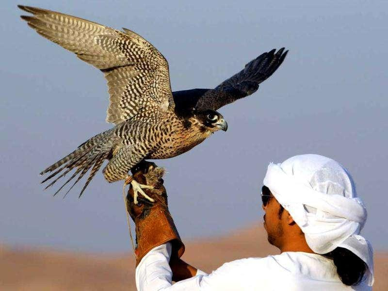 An Emirati man holds a falcon during a falconry competition, part of the Third International Festival of Falconry, in Ramah, south of Al-Ain. AFP/Karim Sahib