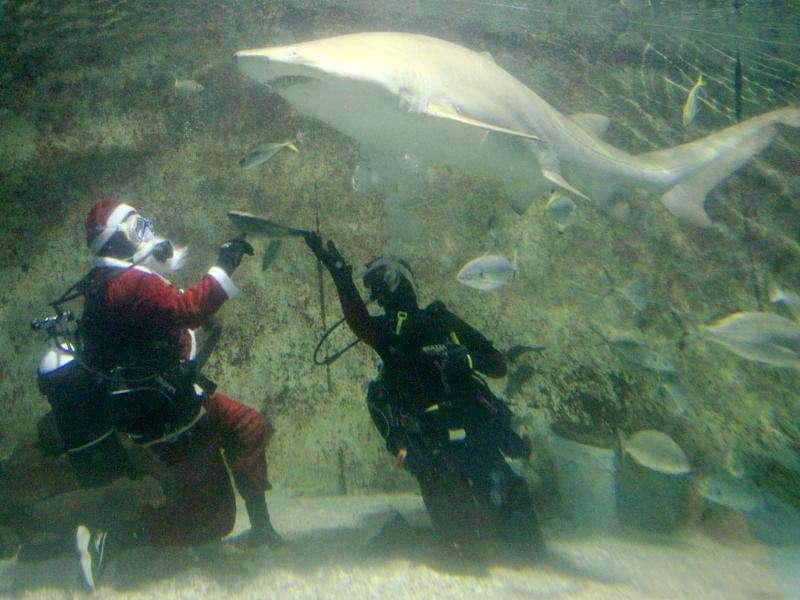 Santa Claus, leaving his reindeer and sleigh behind, dives in water and feeds a grey nurse shark at Oceanworld Manly aquarium in Sydney. Santa has nothing to fear from the placid creatures despite their 3-meter (yard)-long bodies and toothy appearance.