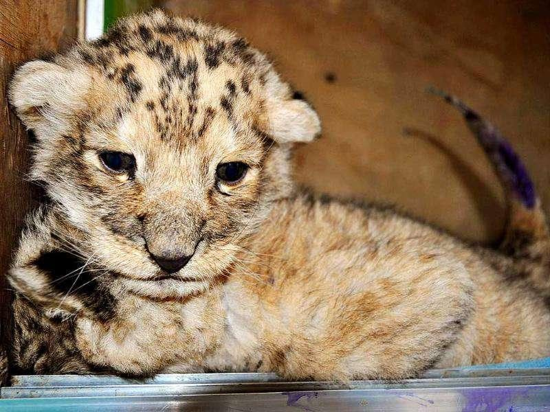 A lion cub which was abandoned by its mother, rests at a wild animal zoo in Qingdao, east China's Shandong province. Workers in the zoo are trying to find a substitute way to feed the one-month-old lion.
