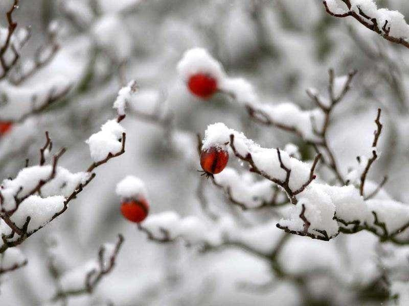 Branches of a tree still bearing some fruit are covered in snow in Gaiberg near Heidelberg, southwestern Germany. AFP Photo