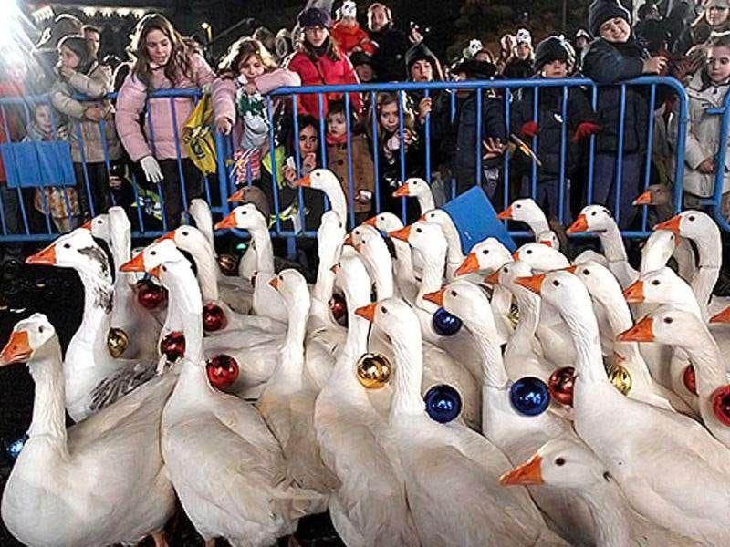 Airport Geese To Be Cooked For Poor: In what could be called a real-life game of angry birds, New York City Airport officials hatched a unique plan to get rid of hundreds of nuisance geese by killing them and shipping them off to food banks in Pennsylvania.
