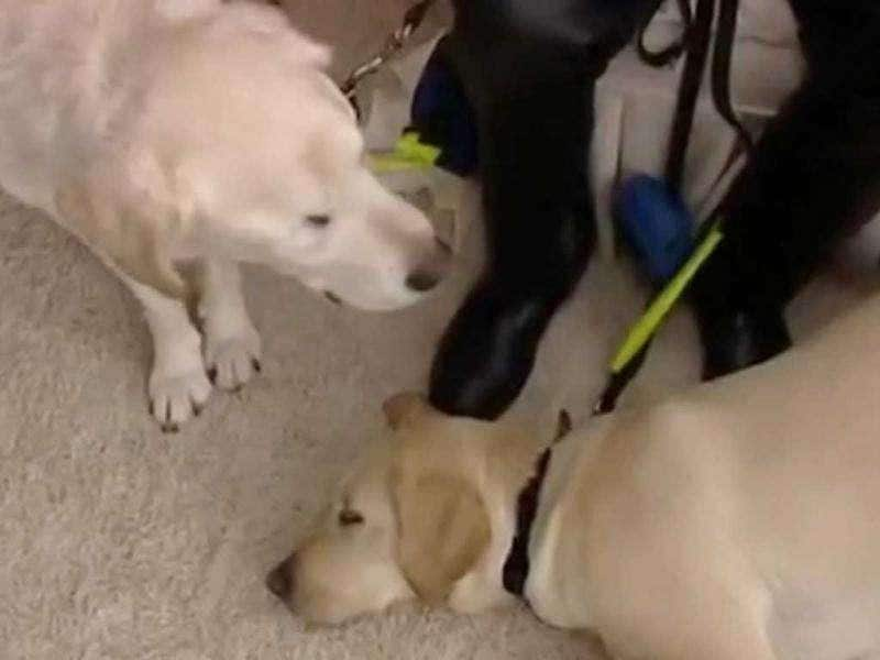 Blind Dog Gets Own Guide Dog: What do you do when your guide dog goes blind? Easy, you get him a guide dog. UK man Graham Waspe's labrador Edward lost his eyes to glaucoma after six years of outstanding service, so he enlisted Opal, another guide dog to steer them both.
