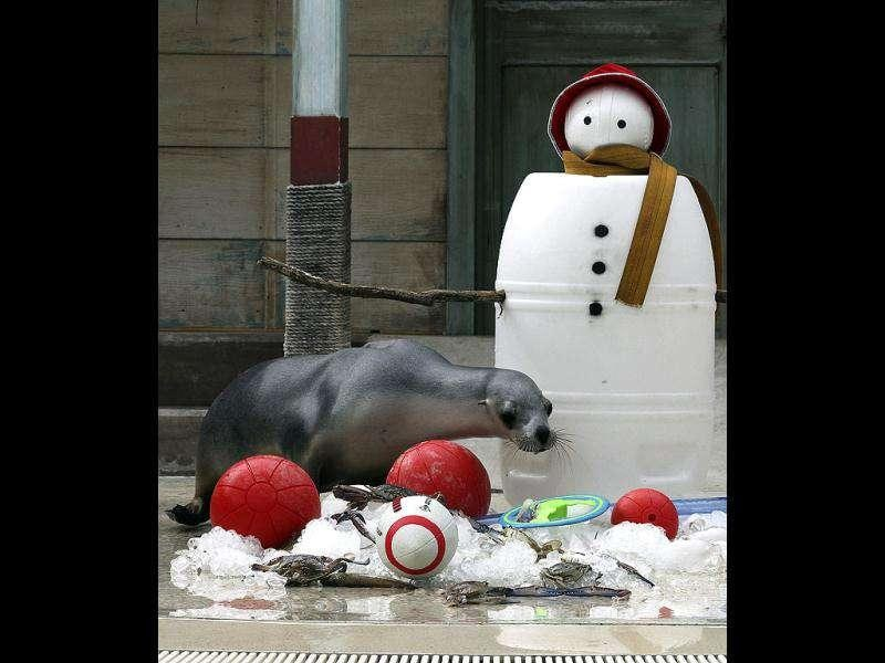 Seals sift through snow to find Christmas treat amongst toys placed at the bottom of a snowman during festive celebrations at Taronga Zoo in Sydney, Australia. (AP Photo)