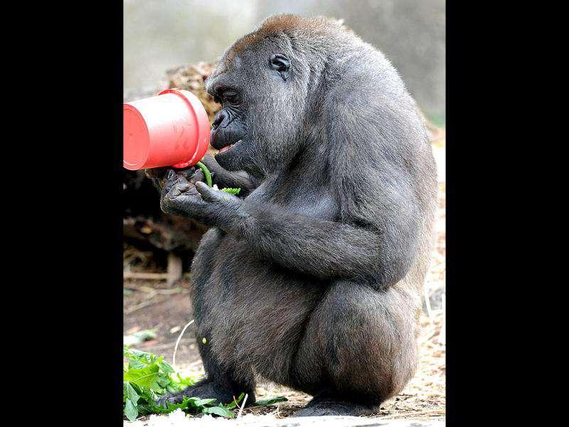 A Western lowland gorilla eats popcorn from a pot as a Christmas treat at Taronga Zoo in Sydney.