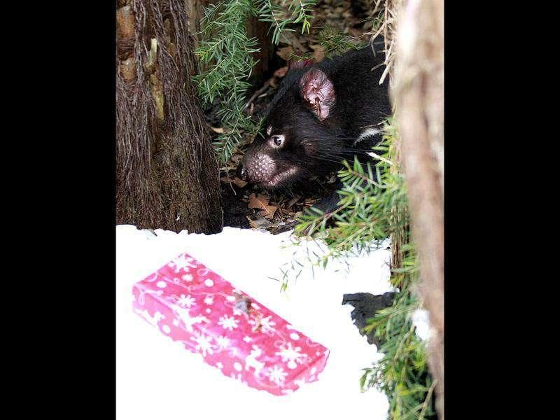 A Tasmanian devil walks next to a Christmas treat left by zookeepeers inside its enclosure at Taronga zoo in Sydney.