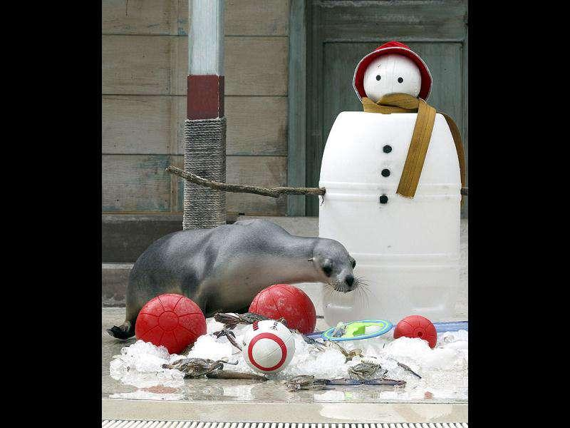 Seals sift through snow to find Christmas treat amongst toys placed at the bottom of a snowman during festive celebrations at Taronga Zoo in Sydney.