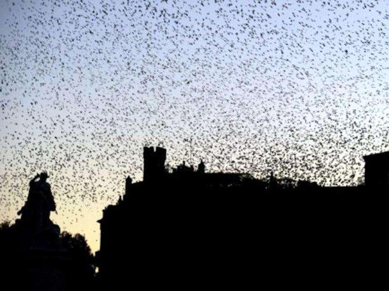 Flocks of starlings fly over piazza del Campidoglio in Rome while the night falls. Thousands of starlings gather each fall and winter in the Italian capital, putting aerial displays over the city. AFP/Gabriel Bouys