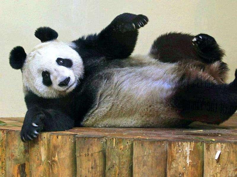Giant panda Tian Tian stretches after eating 'panda cake' in her enclosure at Edinburgh Zoo in Scotland. AP Photo