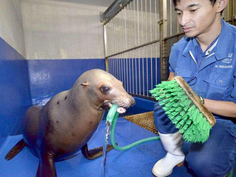 Female sea lion Sarasa helps a trainer to clearn her room at the Shinagawa Aquastadium aquarium in Tokyo. The aquarium is carrying out year-end general cleaning of their facilities. AFP Photo / Yoshikazu Tsuno