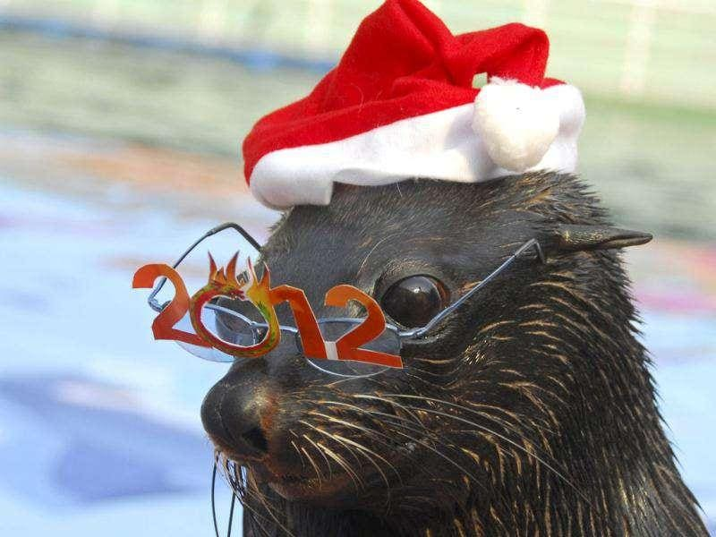 A sea lion wears a pair of glasses with 2012 pasted on it, ahead of the upcoming new year, at a zoo in Shenzhen, Guangdong province.