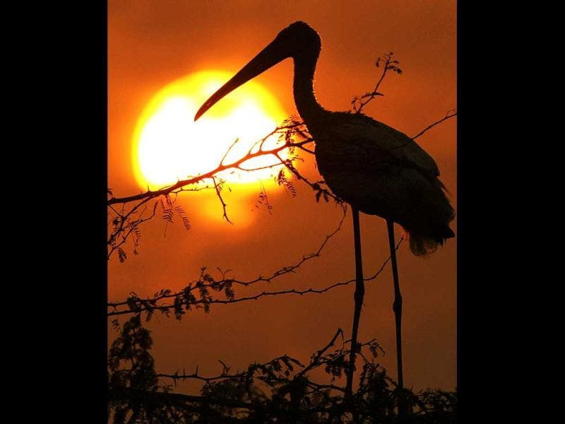 A Painted stork rests at a tree as the last sun of the year 2011 sets in New Delhi. PTI