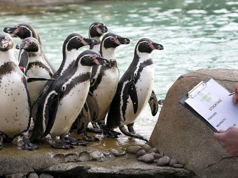 A keeper counts penguins at London Zoo in London. AP Photo