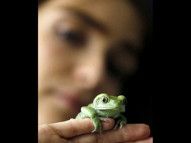 Keeper Sarah Dempsey holds a Waxy Tree Frog as she counts the frogs at London Zoo. AP Photo