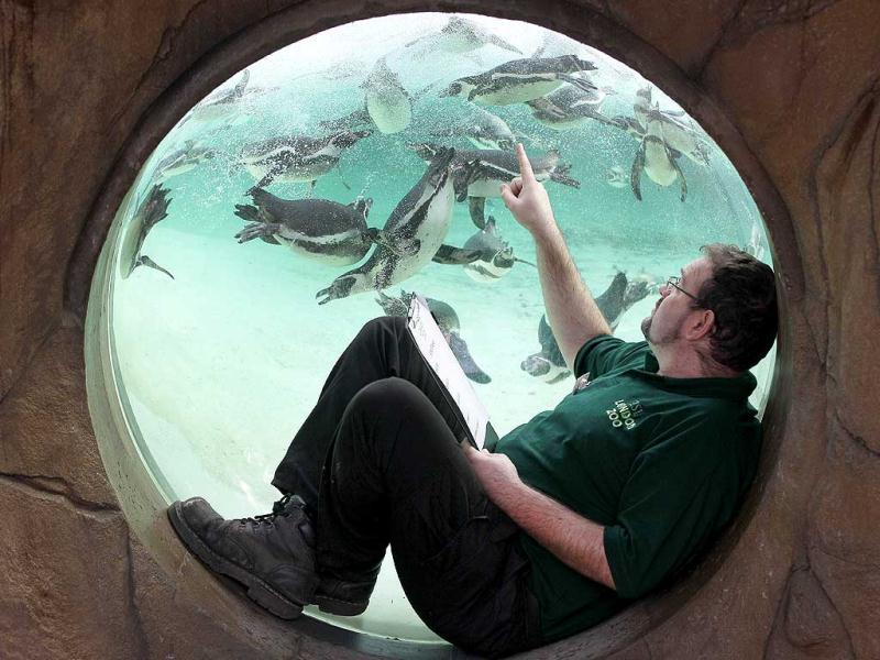 Keeper Adrian Walls tries to count the penguins at London Zoo. AP Photo