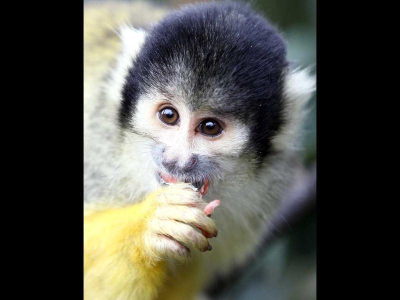 A squirrel monkey eats as he is counted at London Zoo in London. AP Photo