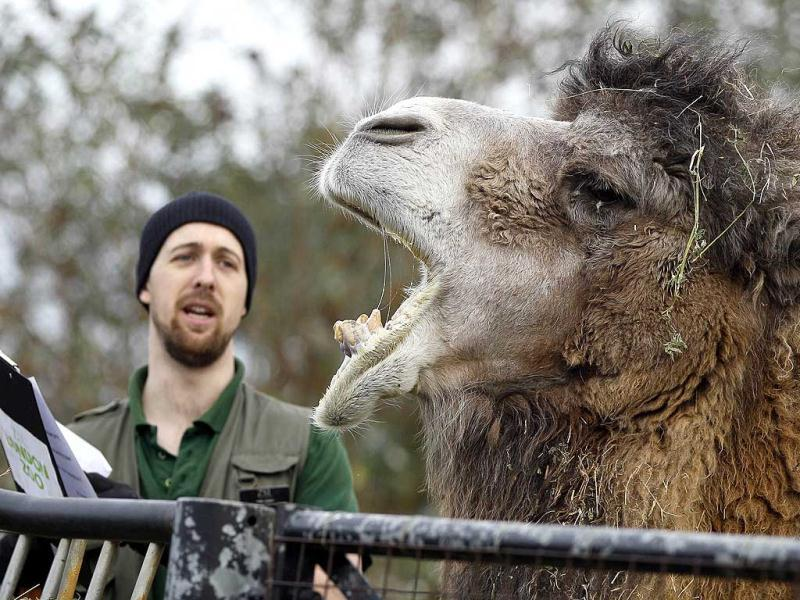 Keeper Tom Lowry is greeted by Henry, a Bactrian camel as he counts the camels at London Zoo. AP Photo
