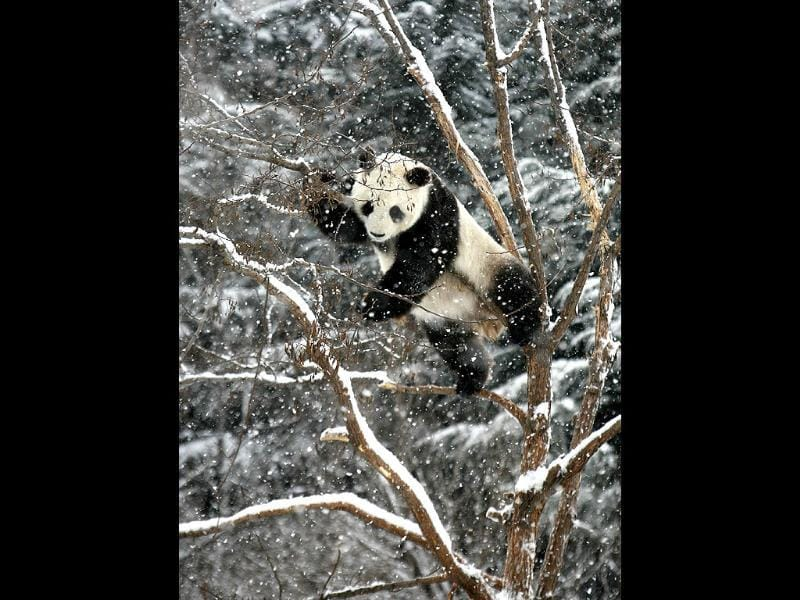 Giant panda Huaao plays on a tree amid snow at a zoo in Yantai, Shandong province. Reuters/China Daily