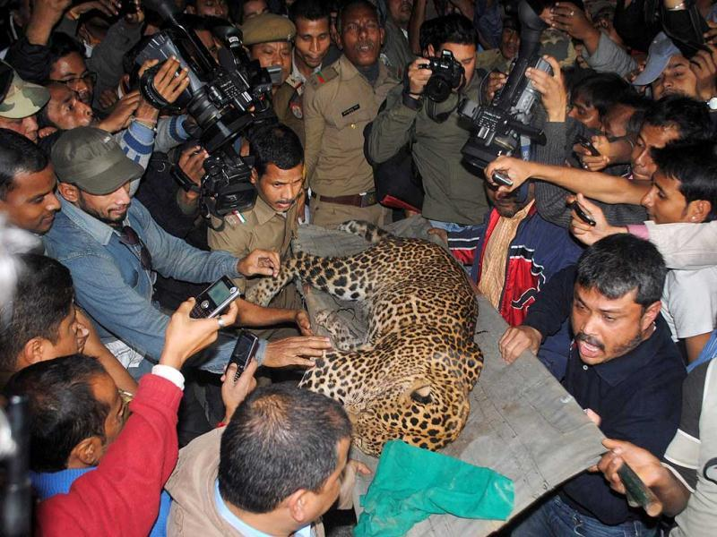 A leopard (Panthera pardus) is carried by zoological park officials after the feline attacked people in a residential neighbourhood of Silphukhuri area in Guwahati. Three people were seriously injured in the leopard attack before the feline was tranquilized and taken to Assam state zoo. AFP