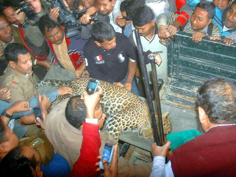A leopard rescued by Assam forest guards from a residential area at Silpukhari in Guwahati. Agency photo