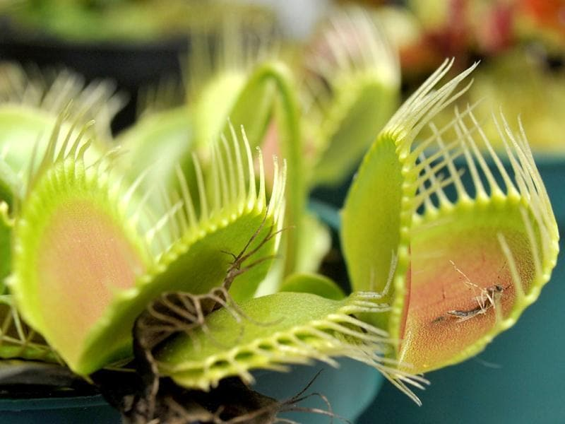 A Venus Flytrap (Dionaea muscipula) is displayed during the opening of the exhibition of carnivorous plants at La Reserva biopark in the municipality of Cota, outskirts of Bogota, Colombia. AFP/Guillermo Legaria