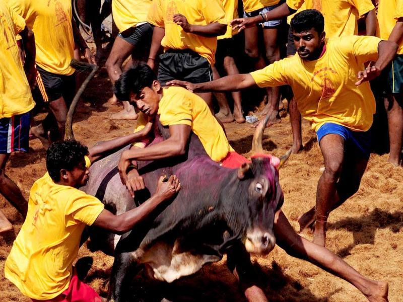 Competitors try to control a bull during a bull-taming festival called Jallikkattu, an integral part of celebrations marking the harvest festival of Pongal, at Madurai district in Tamil Nadu. PTI Photo