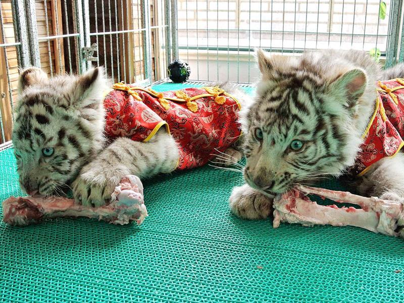 Bengali White Tiger cubs, dressed in traditional Chinese clothes for the upcoming Spring Festival, are seen eating inside their cage at a zoo in Qingdao, Shandong province. Reuters